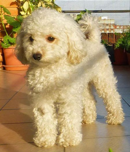 Camila the Toy Poodle   Toy poodle, Poodle puppy, Puppy