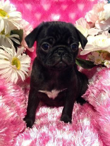 AKC Pug Puppy Beautiful Black Baby Girl!!! for Sale in