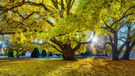 Is the secret to a long life found in a Ginkgo Biloba tree