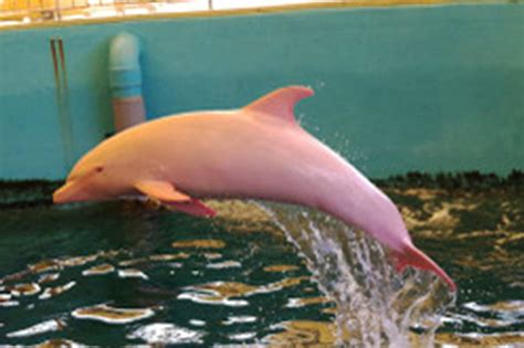 rare albino dolphin crowds turning pink   Daily Star