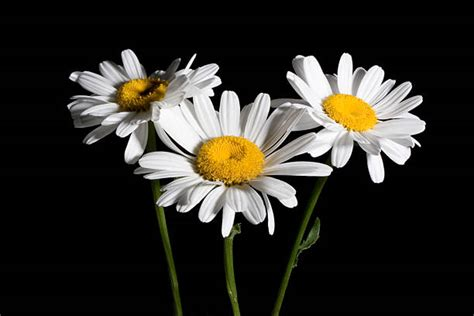 Best Shasta Daisy Stock Photos, Pictures & Royalty-Free