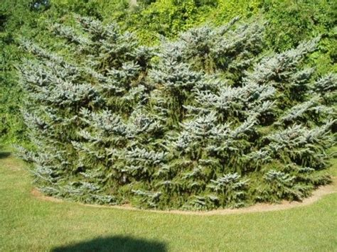 Pin on Picea : spruce