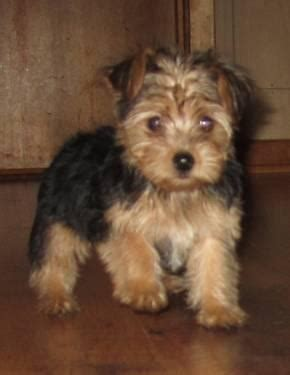 Yorkie Poo puppies for Sale in Janesville, Minnesota