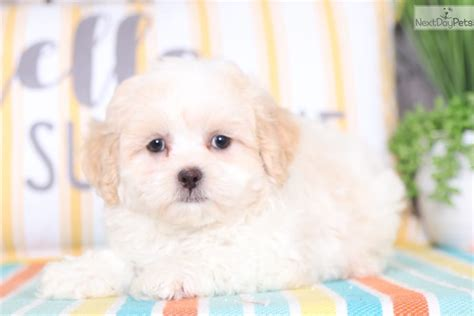 Stormy: Shih-Poo - Shihpoo puppy for sale near Columbus