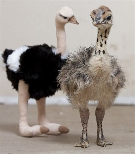 Baby Ostriches: Even The Largest Birds Start Out As Little