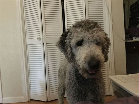 What a face?   Poodle, Dogs, Animals