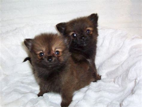 Teacup Pomeranian Purebred Puppies - 8 Weeks Old for Sale