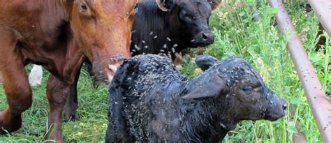 Cow Mutilations in Eastern Plains of Colorado - Page 2
